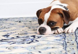 Dog on pet stained rug
